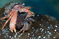 Hermit crab, Pagurus pubescens, Lofoten, Norway,