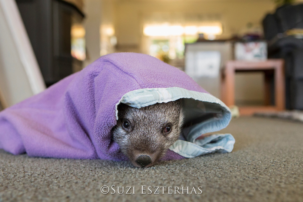 Common Wombat <br /> Vombatus ursinus<br /> Seven-month-old orphaned joey (mother was hit by car) in foster home<br /> Bonorong Wildlife Sanctuary, Tasmania, Australia<br /> *Captive- rescued and in rehabilitation program