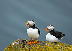 Puffins on Isle of May National Nature Reserve, Firth of Forth, Scotland, UK