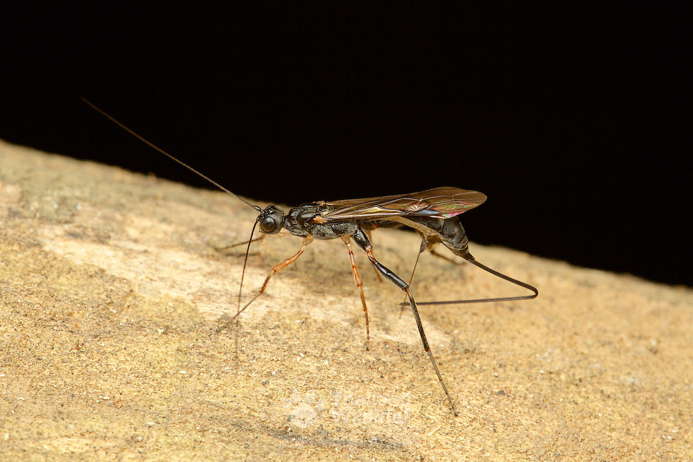 Ichneumon Wasp, Female laying eggs with ovipositor. The ovipositor is an organ used by some animals for the laying of eggs.