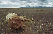 photos from travels in Mongolia - dead yak corpse in landscape -<br /> <br /> Photo must be credited to &quot;Jacques-Jean Tiziou / www.jjtiziou.net&quot; adjacent to the image. Online credits should link to www.jjtiziou.net. Photo may only be used as permitted by the photographer.
