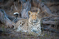 Legadema, the female leopard featured in the Eye of the Leopard documentary, Mombo camp, Okavango Delta, Botswana / Legadema, leopardo hembra famosa por haber aparecido en varios documentales, Campo Mombo, Delta del Okavango, Botswana
