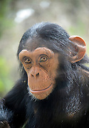 closeup portrait of a Chimpanzee (Pan troglodytes) in captivity enclosed with a fence