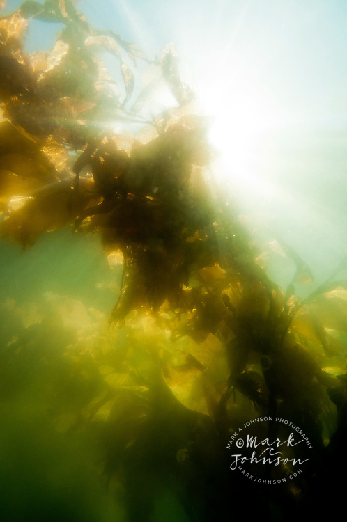 Underwater view of kelp, Sitka, Alaska