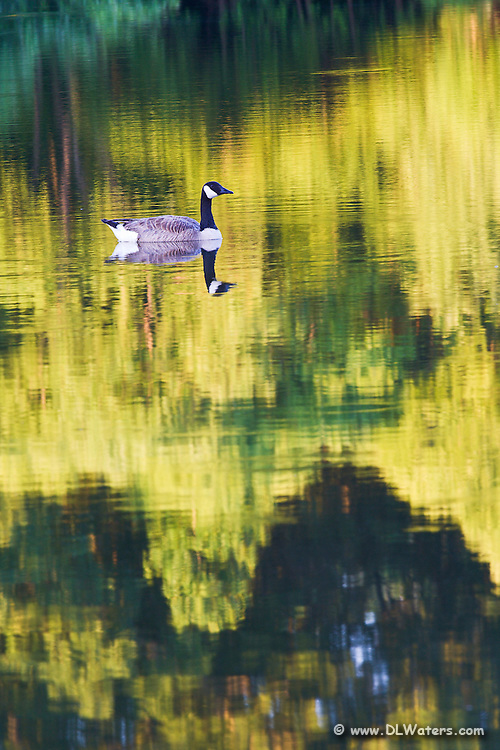 Spring reflection of a Canada Goose and budding trees.