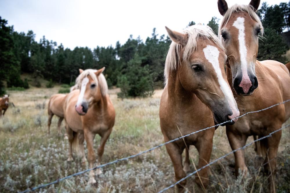 Belgian and Haflinger Horses at EZ Rocking Ranch | August 23, 2014