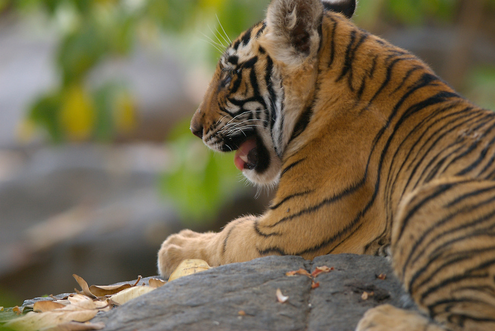 Tiger Cub on Rock