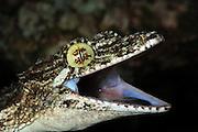 leaftal gecko, Saltuarius cornutus,  from the rainforests of north queensland