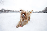 Dogs play in the snow in Central Park  on January 27, 2011 in New York City..Photo by Joe Kohen for The Wall Street Journal