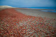 A red ribbon of Langostinos, otherwise known as red pelagic crabs, line the shore of Isla Magdalina.  The crabs were washed on to the beach by a combination of high tide and wind.  Sunrise lights up the sand dunes on Isla Magdalina.