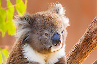 A beautiful Koala relaxes on a branch in the Koala exhibit at Healesville Sanctuary in Victoria, Australia<br /> <br /> &copy;2016, Sean Phillips<br /> http://www.RiverwoodPhotography.com