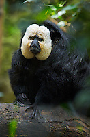 White-faced Saki<br /> (Pithecia pithecia), South America White-faced Saki<br /> (Pithecia pithecia), South America Image by Andres Morya