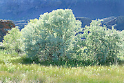 brilliant russian olive tree in meadow bathed in sunlight in coulee, Eastern Washington