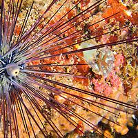 Alberto Carrera, Sea Urchin, Savigny's Longspine Sea Urchin, Diadema savignyi, Lembeh, North Sulawesi, Indonesia, Asia