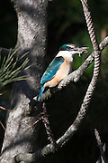 Sacred Kingfisher, with mud crab, Invercargill Estuary, New Zealand