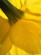 A macro photograph of the stem and bright yellow petals of a Daffodil lit by the sun in Central Park, New York City.