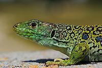Ocellated lizard, Lacerta lepida<br /> Campanarios de Azába reserve<br /> Salamanca district, Castilla y León, Spain