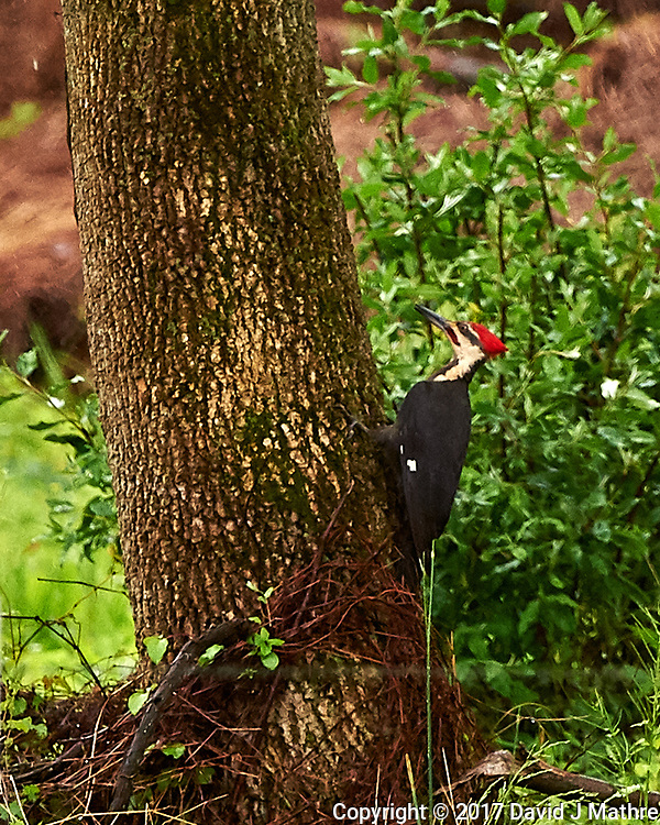 Pileated Woodpecker. Backyard spring nature in New Jersey. Image taken with a Nikon D4 camera and 500 mm f/4 VR lens (ISO 1400, 500 mm, f/5.6, 1/640 sec).