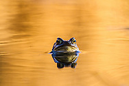 Toad in soft sunset light.