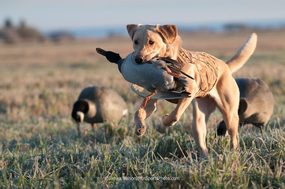 A yellow Labrador retriever brings a mallard drake back to the blind during an autumn waterfowl hunt in southeastern Idaho.