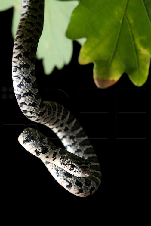 Hemorrhois hippocrepis snake, photographed in Vouzela, near Serra do Caramulo, on an oak deciduous forest.