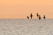 Long-tailed Ducks, Clangula hyemalis, Lake Ontario, Ontario, Canada