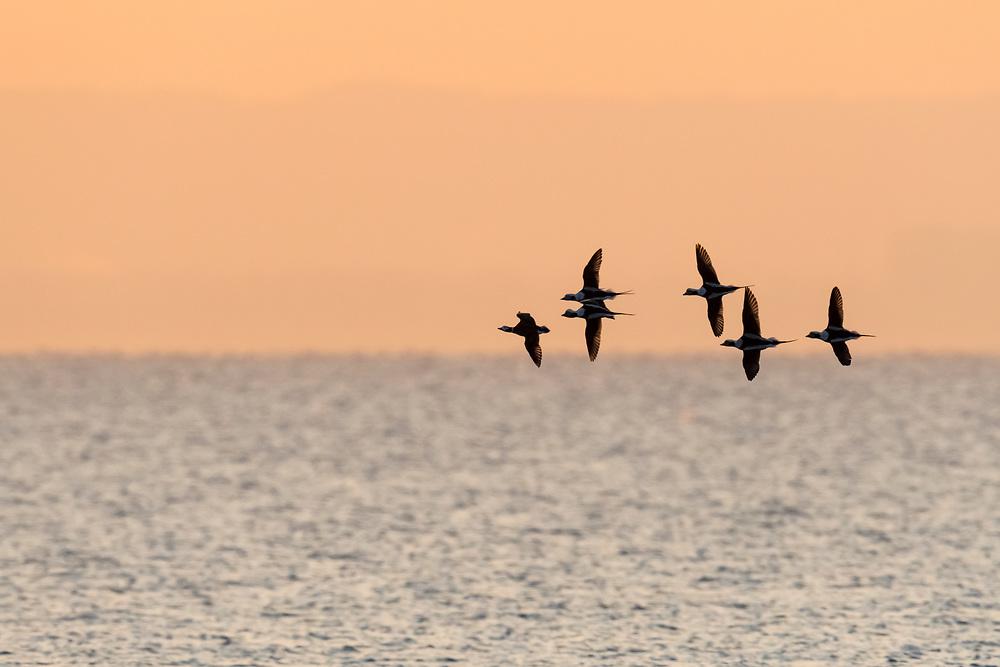 Long-tailed Ducks, Clangula hyemalis, Lake Ontario, Ontario, Canada