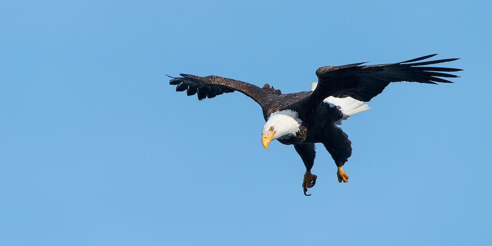 A Bald Eagle (Haliaeetus leucocephalus) dives down on a surfacing kokanee salmon, Idaho