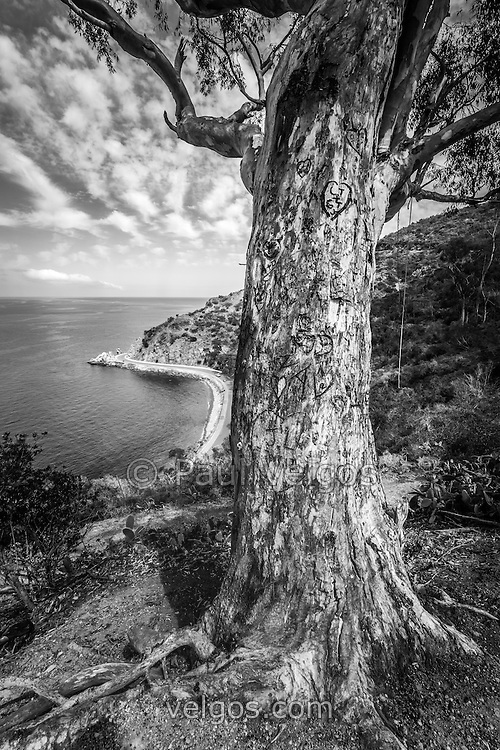 Catalina Island Lover's Cove tree black and white photo. The tree is frequently used for posing for wedding pictures and portraits with beautiful Lover's Cove in the background. Lovers Cove is a popular spot on Catalina Island for snorkeling and diving. Catalina Island is a popular travel destination off the coast of Southern California in the United States.