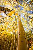 Just Aspen Trees