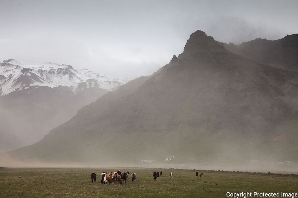 Livestock in southern Iceland in ash plume from the erupting volcanoes Eyjafjallajökull and Grímsvötn