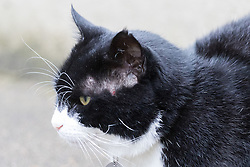 Downing Street, London, August 2nd 2016. Tensions appear to be ongoing in Downing Street as Larry the cat from No. 10 and Palmerston, newly resident at the Foreign Office continue their territorial feud. PICTURED: Palmerston stares across Downing street, a scar showing signs of a recent altercation.