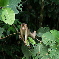 A juvenile Pig-tailed Macuaqe, Macaca nemestrina, balancing on branches, Gunung Silam, Sabah, Malaysia, Borneo, South East Asia.