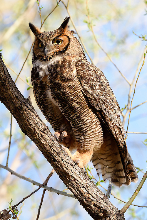 Great horned owl (female), Twin Lakes, Boulder Colorado