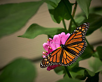 Monarch Butterfly. Image taken with a Fuji X-H1 camera and 80 mm f/2.8 macro lens (ISO 200, 80 mm, f/4, 1/3800 sec).