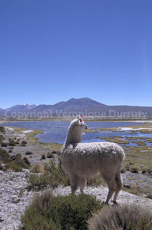 Alpaga, alpaca, Lama pacos Linnaeus 1758, ou Lama guanicoe pacos, ang. alpaca  (du peruvien)  L'alpaga vit en Amerique du Sud sur le plateau andin, principalement au Chili et au Perou. De la famille des camelides dont l'espece la plus connue est le Lama, les especes sauvages sont la Vigogne et le Guanaco. Domestique depuis les Incas, l'Alpaga, comme tous les camelides, a la levre superieure fendue, des coussinets en guise de sabots, et crache pour affirmer sa dominance. Il a une faculte d'adaptation etonnante, c'est un animal rustique, docile, curieux et peu craintif, il a un instinct gregaire tres developpe. La gestation dure 11 mois. La progeniture de l'Alpaga est appelee la cria, -le jeune qui grandit-.  L'alpaga se nourrit d'herbe et de broussailles, une suralimentation donne un poil plus epais.  UNe bete produit deux a trois kilos de poils par an. Les teintes naturelles vont du blanc au noir en passant par tous les tons de gris et de marron. Alpaga, alpaca, Lama pacos Linnaeus 1758, ou Lama guanicoe pacos, ang. alpaca  (du peruvien)  L'alpaga vit en Amerique du Sud sur le plateau andin, principalement au Chili et au Perou. De la famille des camelides dont l'espece la plus connue est le Lama, les especes sauvages sont la Vigogne et le Guanaco. Domestique depuis les Incas, l'Alpaga, comme tous les camelides, a la levre superieure fendue, des coussinets en guise de sabots, et crache pour affirmer sa dominance. Il a une faculte d'adaptation etonnante, c'est un animal rustique, docile, curieux et peu craintif, il a un instinct gregaire tres developpe. La gestation dure 11 mois. La progeniture de l'Alpaga est appelee la cria, -le jeune qui grandit-.  L'alpaga se nourrit d'herbe et de broussailles, une suralimentation donne un poil plus epais.  UNe bete produit deux a trois kilos de poils par an. Les teintes naturelles vont du blanc au noir en passant par tous les tons de gris et de marron.