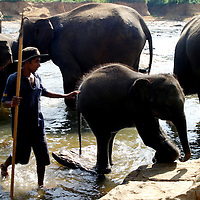 PINNAWELA, OCTOBER-3 : a mahout follows an escaping baby elephant in the Ma Oya river in Pinnawela, October 3, 2005, Sri Lanka, Chandana is the nephew of legendary mahout K.D. Sumanabanda and has lived in the orphanage for three years. He says he wants to follow in to the footsteps of his uncle..PINNAWELA, OCTOBER-3 : an elephant greets a visitor   in Pinnawela, October 3, 2005, Sri Lanka.   .The Pinnawela orphanage was started in 1975 and initially designed to afford care and protection to the many baby elephants found in the jungle without their mothers. In most cases the mother either had died or been killed. .Animals are allowed to roam freely duringthe day and a herd structure allows to form. there are only a few elephant orphanges worldwide. At Pinnawela an attempt was made to simulate, in a limited way, the conditions in the wild. Currently the herd consists of 75 elephants under the surveillance of legendary  Mahout chief Sumanabanda.