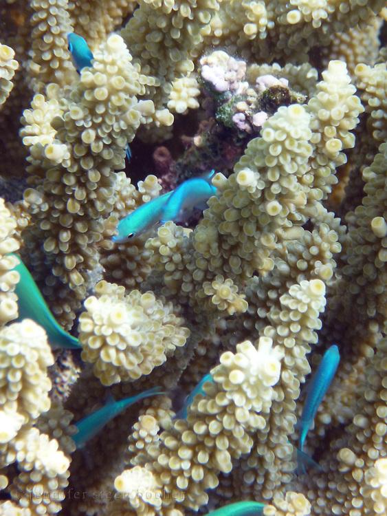 Bright blue damselfish (Chromis viridis) in an Acropora coral, Kadavu, Fiji.
