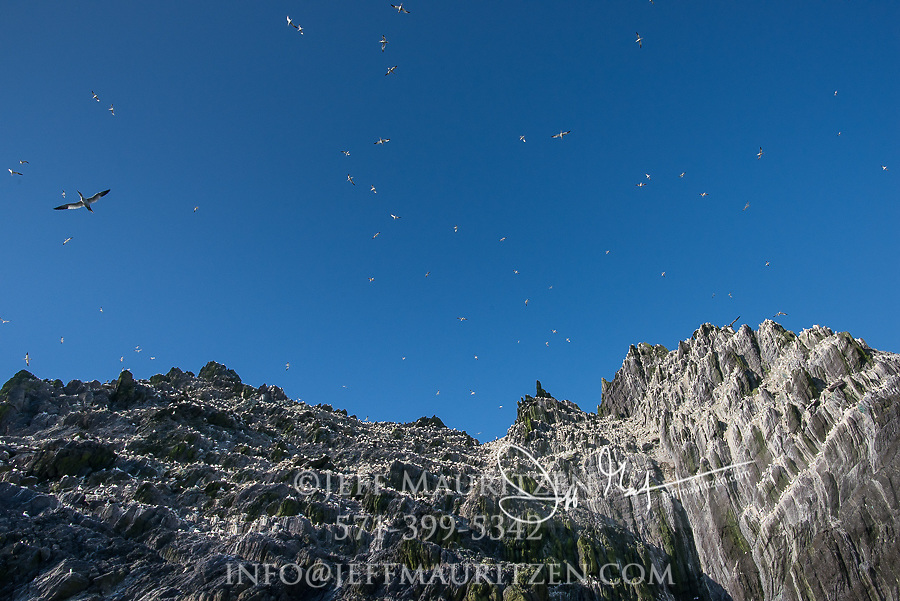Large groups of Northern gannets fly around the seabird colony on Little Skellig island, County Kerry, Ireland.