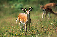 Fallow Deer (Dama dama), New Forest, Hampshire, England - Photo: Peter Llewellyn