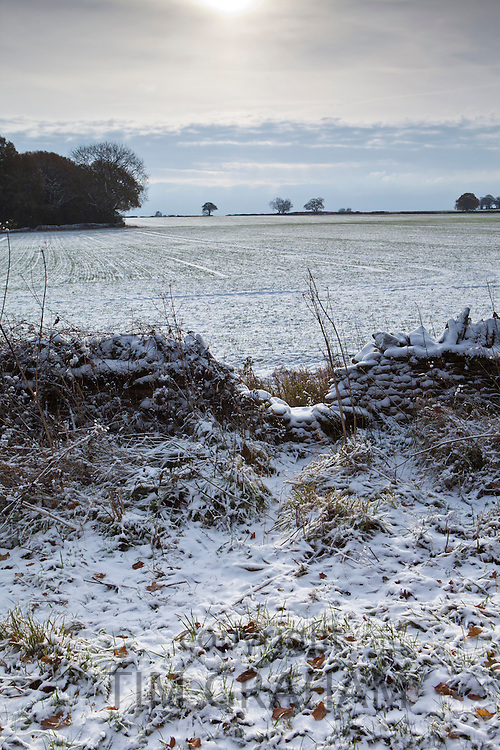 Badger shortcut in winter scene, The Cotswolds, UK