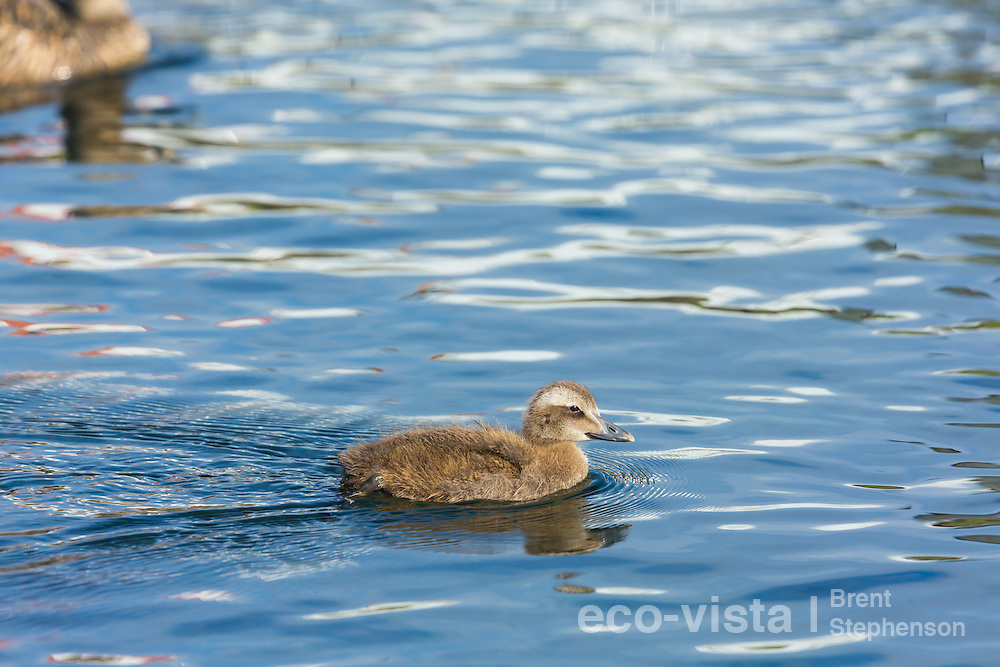 A common eider (Somateria mollissima) duckling swims across the waters surface, its mother nearby. Flatey, West Fjords, Iceland. July.