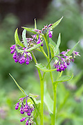 Comfrey consoude, Symphytum officinale, medicinal herb in organic vegetable and herb garden in Oxfordshire, UK