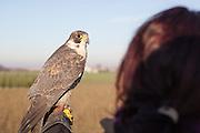 Traversetolo (Parma) - Scorty (Scorticus), il Falco Pellegrino di Diletta pronto per la caccia.