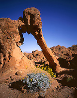 AA02017-01...NEVADA - Brittlebush blooming at Elephant Rock in Valley of Fire State Park.