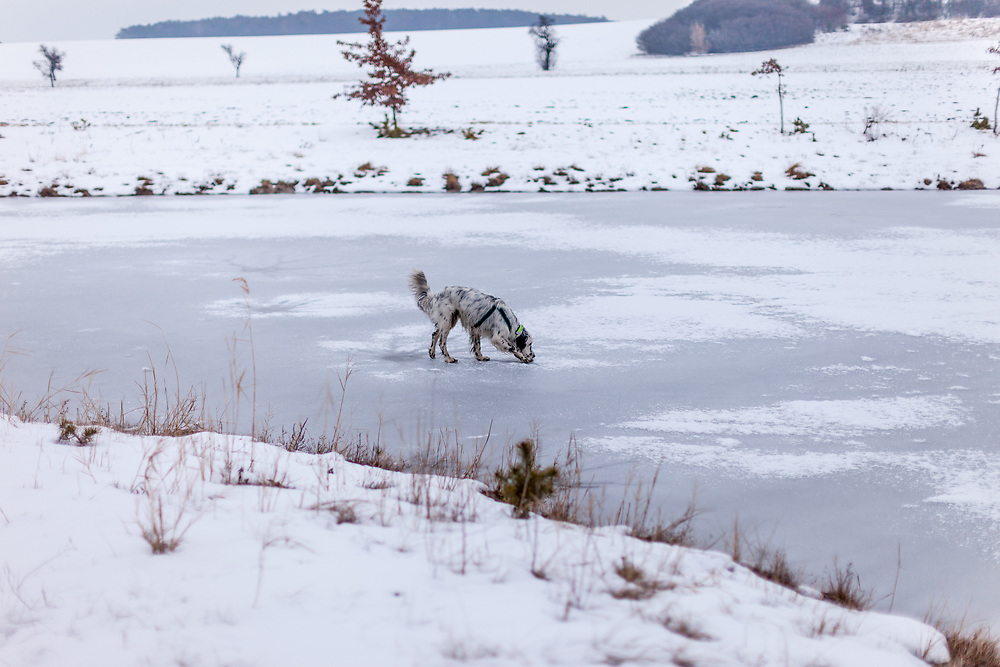 """English Setter """"Rudy"""" läuft am 06.02. 2019 über seinen gefrorenen und schneebedeckten Teich in Stara Lysa, (Tschechische Republik).  Rudy wurde Anfang Januar 2017 geboren."""
