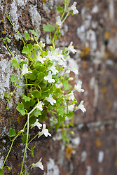 Ivy leaved Toadflax (white) growing in an old brick wall. Kenilworth ivy. Cymbalaria muralis