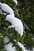 Snow clung to branches on many trees like scarfs over the shoulder.