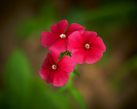 Phlox Flower. Image taken with a Nikon D850 camera and 105 mm f/2.8 VR macro lens