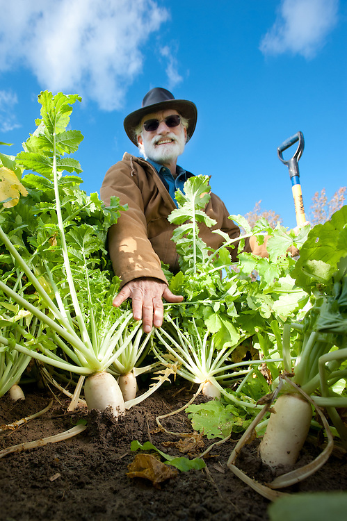 Farmer and cover crop, diakon radishes
